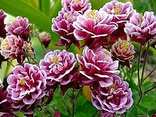 NEU! 25+ Gemeine Akelei BARLOW ROSE COLUMBINE