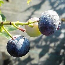 NEU! Kulturheidelbeere Bonus, Blaubeere mit sehr großen Früchten, Pflanze ca. 30-40 cm, im 3 L Topf