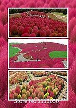 Neuankömmling! Kochia Brennender Busch Gras Samen 500pcs / bag Scoparia Samen Hausgarten Zierpflanze Sommer Cypress Rapid-Fr wachsen