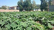 Neue Ankunft 20 Samen Hausgarten Pflanze Chinesische Rhabarber Rheum palmatum sät freies Verschiffen