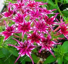 Neue Ankunfts-100 PC / bag Phlox Pflanzen, Phlox-Samen Phlox Blumen Bonsai Blumensamen 10 Farben vergossen DIY Hausgarten Pflanze 9