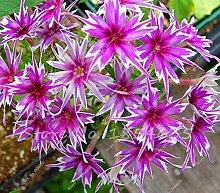 Neue Ankunfts-100 PC / bag Phlox Pflanzen, Phlox-Samen Phlox Blumen Bonsai Blumensamen 10 Farben vergossen DIY Hausgarten Pflanze 2