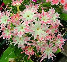 Neue Ankunfts-100 PC / bag Phlox Pflanzen, Phlox-Samen Phlox Blumen Bonsai Blumensamen 10 Farben vergossen DIY Hausgarten Pflanze 7