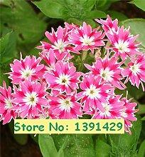 Neue Ankunfts-Phlox Drummondii Cuspidata 200 Samen, Samen PHLOX Twinkle Star Hausgarten Pflanze Blume 1