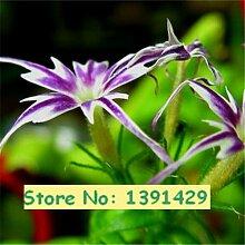 Neue Ankunfts-Phlox Drummondii Cuspidata 200 Samen, Samen PHLOX Twinkle Star Hausgarten Pflanze Blume 3