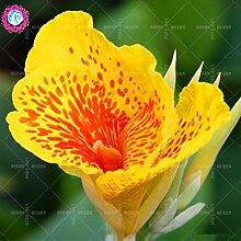 Neues angekommen! 10 PC / bag Canna Samen Staude Dekoration Topf Haus & Garten 95% Keimungrate Bonsai Blume Pflanze 2