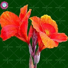 Neues angekommen! 10 PC / bag Canna Samen Staude Dekoration Topf Haus & Garten 95% Keimungrate Bonsai Blume Pflanze 1