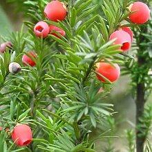 New 10pcs immergrüne Baum Taxus chinensis Samen,