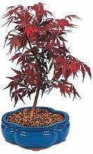 New Ahorn, RED Japanisch oder Bonsai-Baum, 100 +