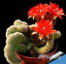 New Seeds 2015! Kaktus-Blumen-100pcs / Bag Kaktus Pflanze Samen Seltene Pflanzensamen Foliage magischen Garten & Heim Semillas Flora, # I18I74