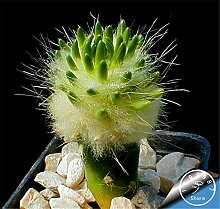 New Seeds 2015! Kaktus-Blumen 100Seed / Bag Kaktus Pflanze Samen Seltene Pflanzensamen Foliage magischen Garten & Heim Semillas Flora, # KB6SX
