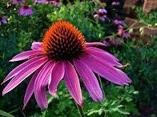 New Sonnenhut, purpurroter Blume, Echinacea, 305 +