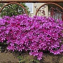 Niedrige Flammenblume Early Spring Purple -