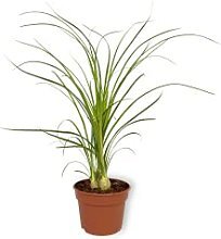 Nolina Recurvata - Elefantenfuß - Zimmerpflanze