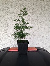Nootka-Scheinzypresse (Xanthocyparis nootkatensis)