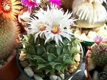 Obregonia denegrii antichoke Pflanze exotische