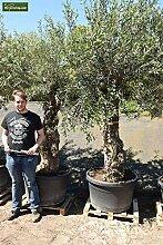 Olea europaea BONSAI - echter Olivenbaum - Größe