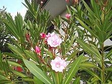 Oleander nerium oleander Rosenlorbeer tolle kräftige Pflanze 20cm rosa Blüten