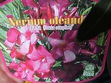 Oleanderstämmchen 100-120 cm Topf 18 Nerium