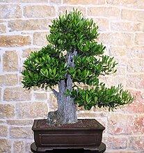 Olive bonsai tree (74)