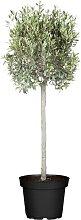 Olivenbaum Höhe ca. 100 cm - Oliven als Garten