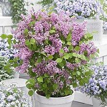 omgarten Flieder 'Flowerfesta®' pink |