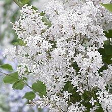 omgarten Flieder 'Flowerfesta®' White