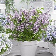 omgarten Flieder 'Flowerfesta® purple' |