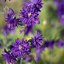 omgarten Gemeine Akelei 'Blue Barlow' | 3