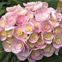 omgarten Hortensie 'Love'   pinke