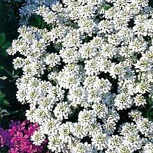 omgarten Schleifenblume 'Appen Etz' |