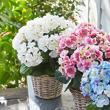 Opulente Hortensie im Weidenkorb in drei frischen