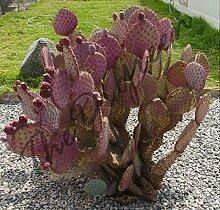 Opuntia chlorotica Santa Rita Samen, Lila Pink