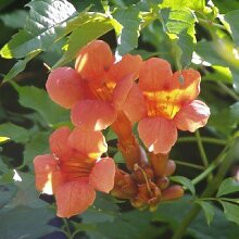 Orange Trompetenblume - Campsis radicans - blühende Kletterpflanze