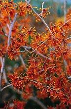 Orange Zaubernuss Aphrodite - Hamamelis intermedia
