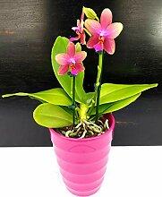 ORCHIDEA PHALAENOPSIS LIODORO Duftnote im Vase aus
