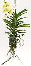 Orchidee, Wand, Weiß, echte Pflanze