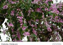 Orchideenbaum Bauhinia purpurea tolle Kübelpflanze 1000 Samen