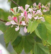 Orchideenbaum rosa - 20 Samen - Bauhinia monandra