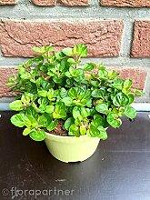 Oregano Pflanze Origanum vulgare Kräuter Pflanze 2stk.