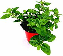 Oregano Pflanze Origanum vulgare Kräuter Pflanze