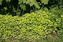 Origanum vulgare 'Thumbles' - 3 Pflanzen