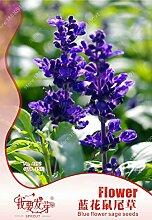 Original Verpackung blau Salbei Samen Staude Salbei Samen duftend salvia japonica salvia farinacea, Balkon Blumensamen - 35 Stück