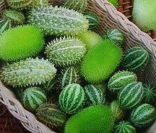 Ornament Gurken gemischt Samen-Gurken dipsaceus