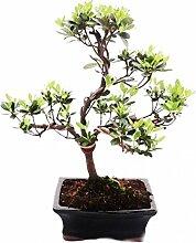 Outdoor-Bonsai Rhododendron simsii - Azalee 15cm