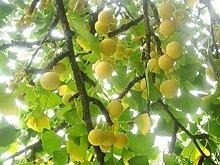 Outdoor Garten Pflanze Ginkgo Biloba Maidenhair Tree–1Versenden Pflanze in einem 8cm Topf