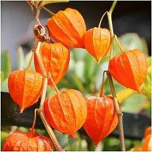 Paket von 200 Samen, Chinesische Laterne Seeds