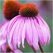 Paket von 500 Samen, Sonnenhut Seeds (Echinacea
