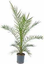 Palme 140-180 cm, XXL Phoenix canariensis,