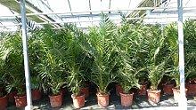 Palme 180 cm, XXL Phoenix canariensis, kanarische